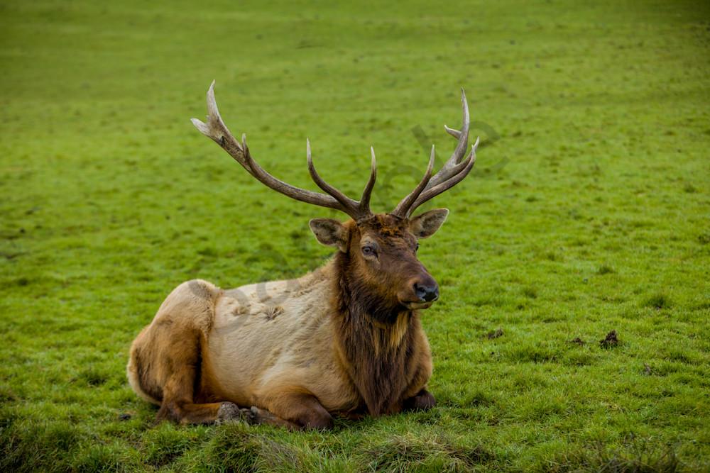 Resting Bull Elk : Winston Wildlife Safari, Oregon - By Curt Peters