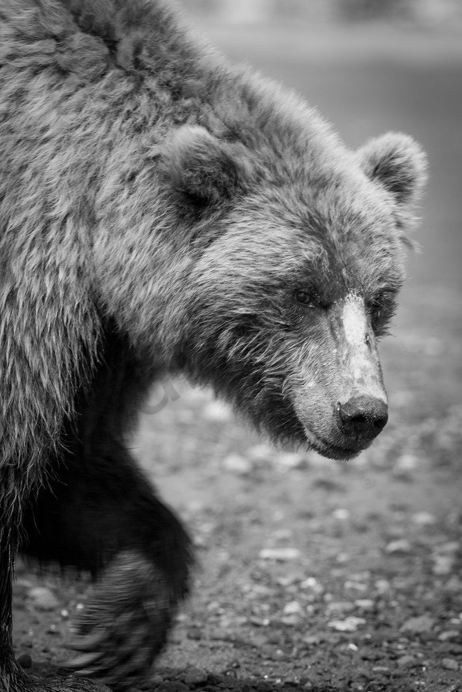 Grizzly Bear I, Alaska