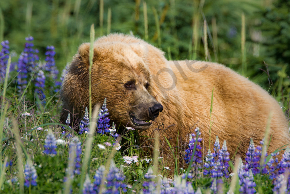 Lupins & Grizzly, Alaska