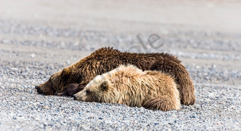 Grizzly Mom & Cub Resting on Beach, Alaska