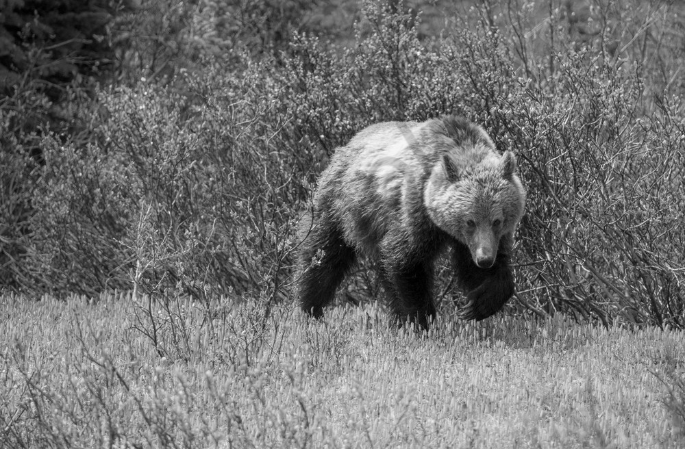Grizzly Strength II, Banff