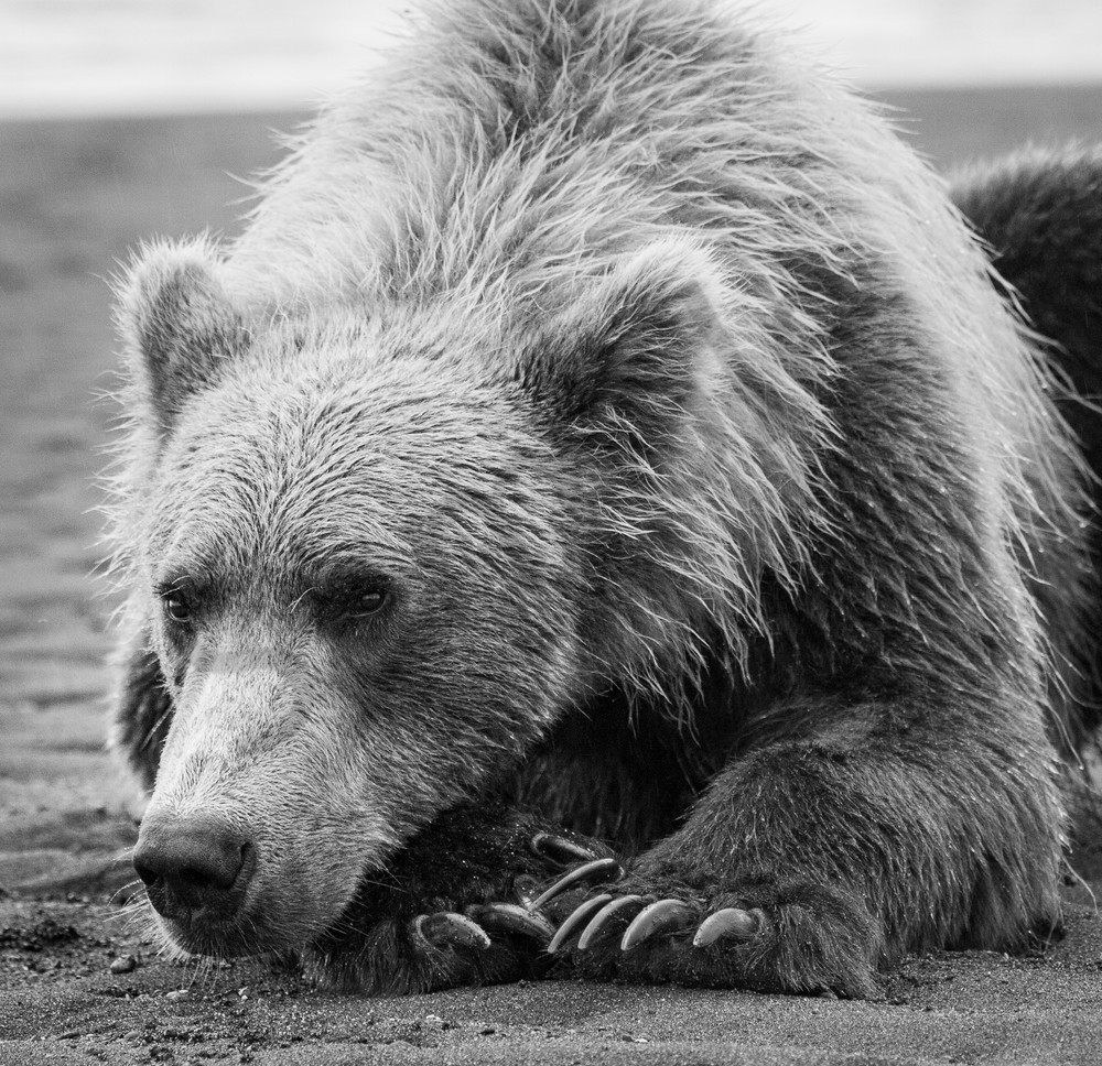 Grizzly Cose Up, Alaska