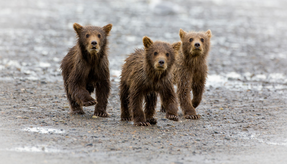 Grizzly Cubs, Alaska