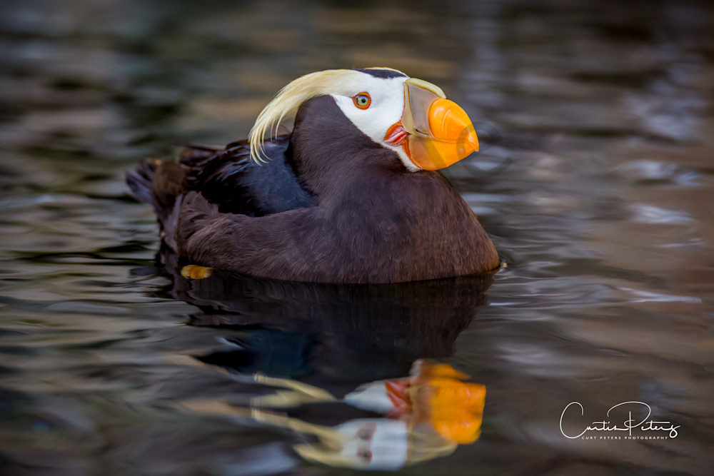 Puffin on Water
