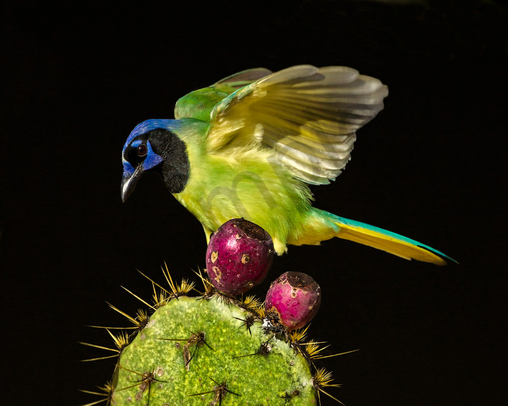 Green Jay Photography Art | John Martell Photography