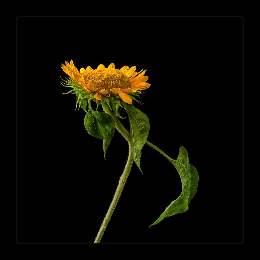 Dancing Sunflower, photograph of single sunflower for sale as fine art.