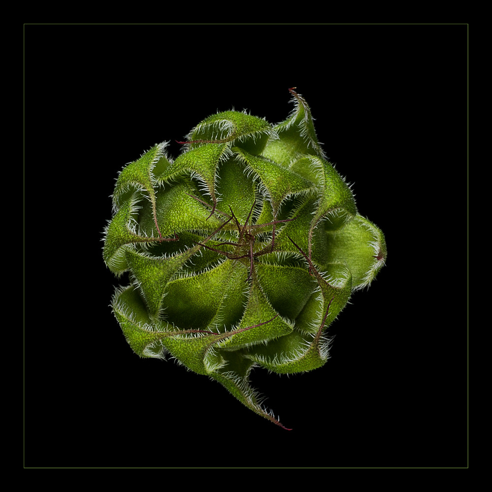 Photograph of Emerging Sunflower Bud for sale as fine art.
