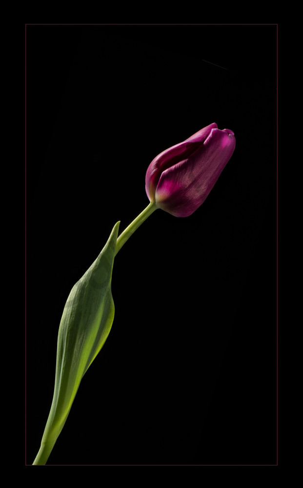 Photograph of Purple Tulip for sale as fine art.