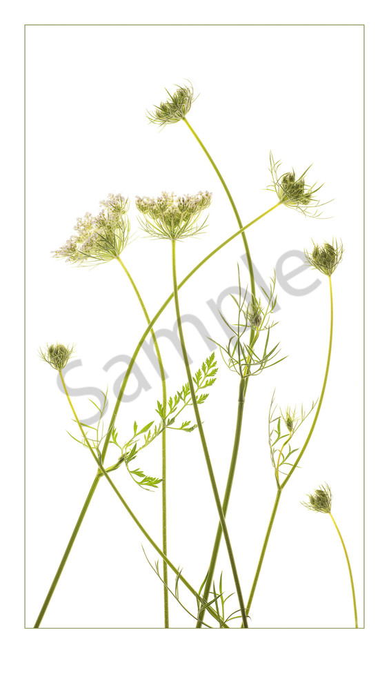 Photograph of Queen Anne's Lace for sale as fine art.