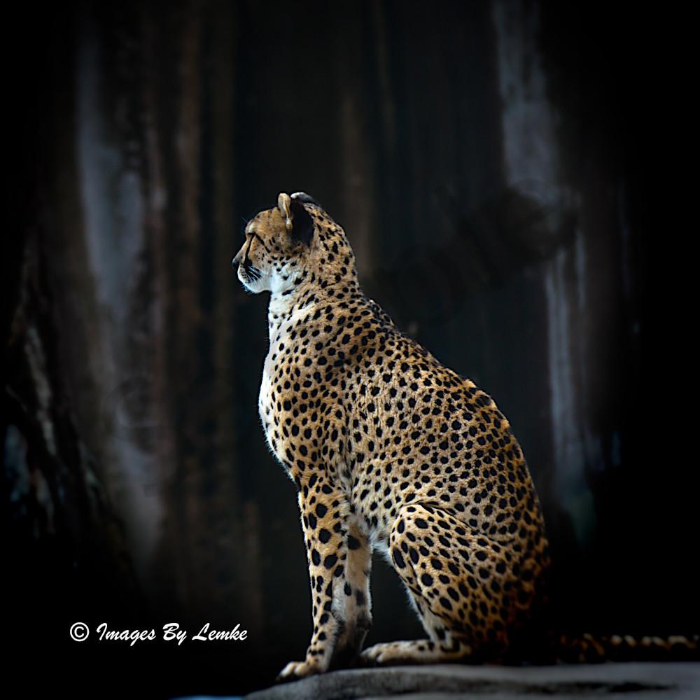 cheetah Profile 2