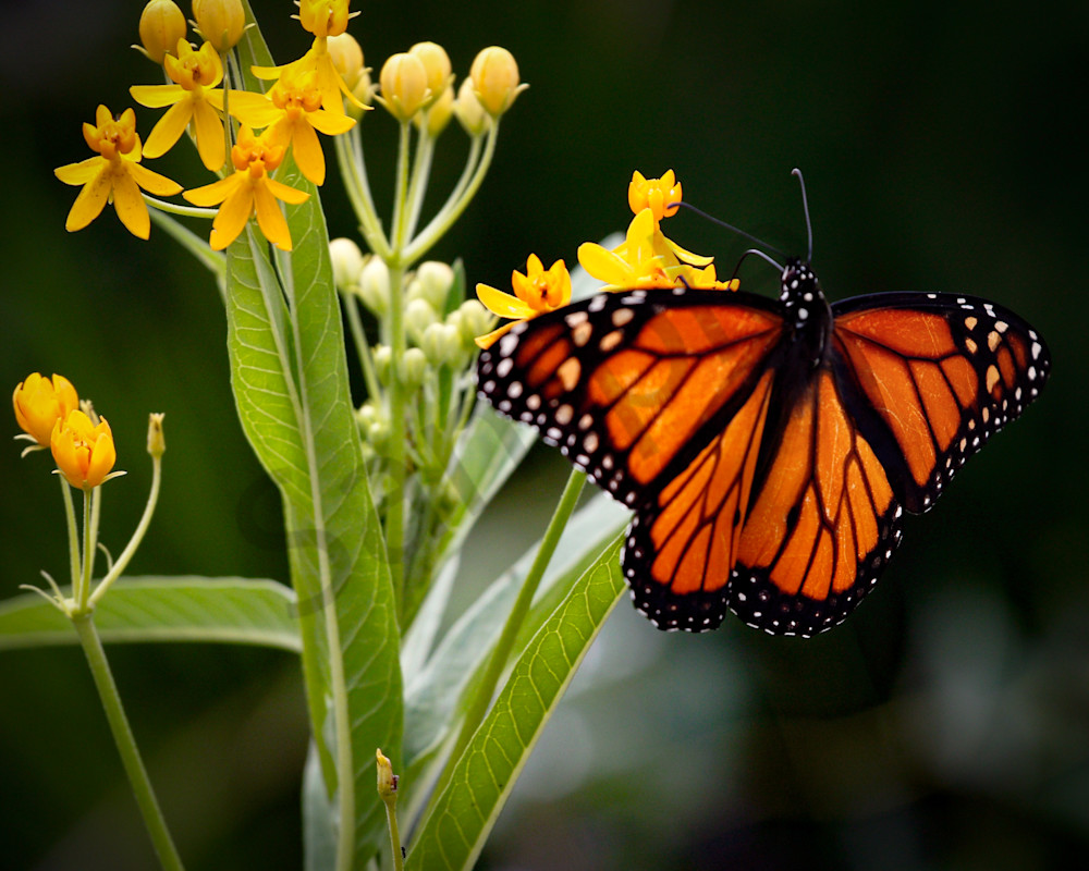 Magnificent Monarch Photography Art | Beth Houts Photography