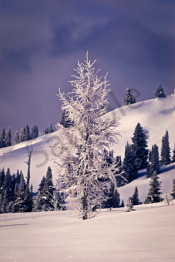 Larch Tree at Sunshine Village.Banff National Park|Canadian Rockies|