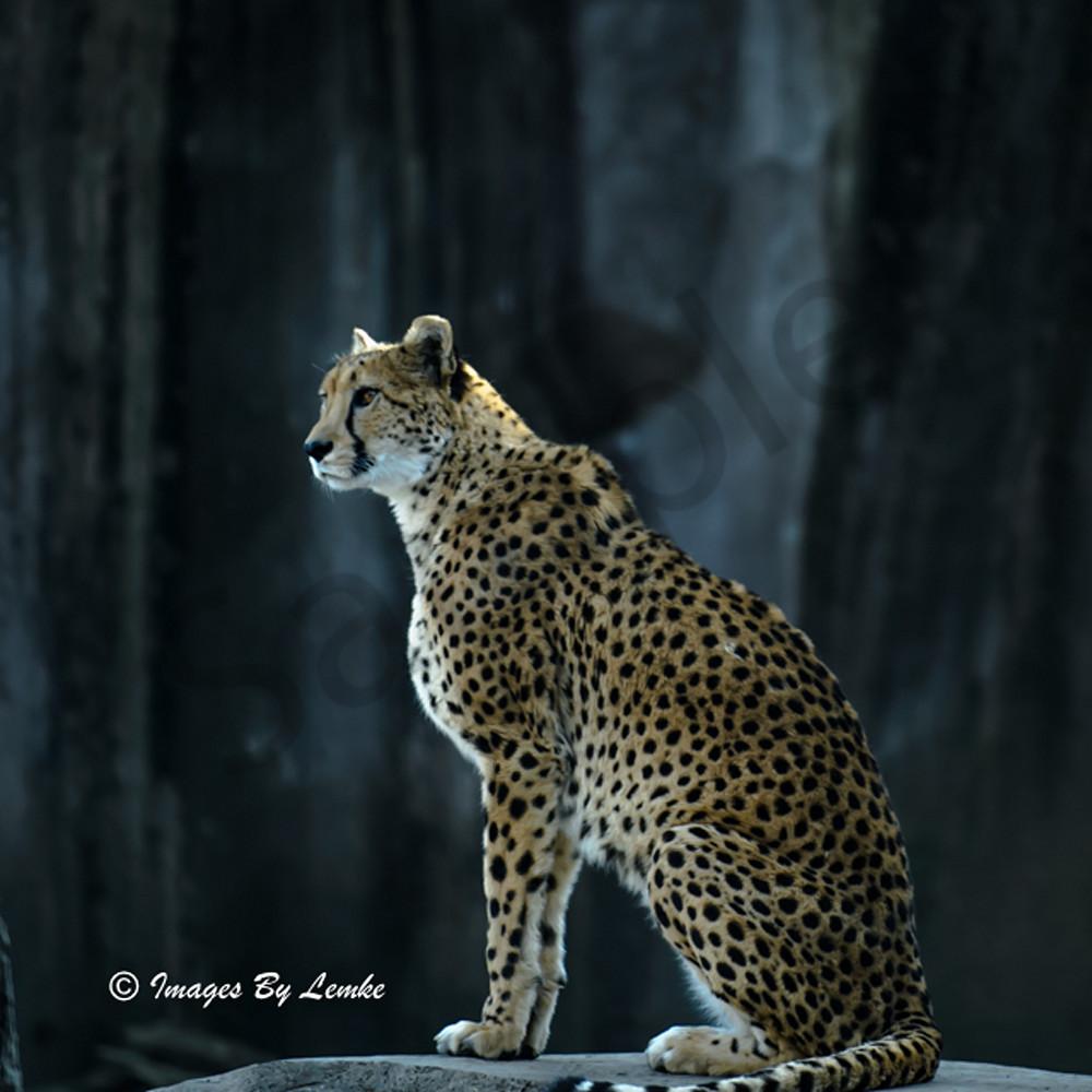 cheetah Profile one