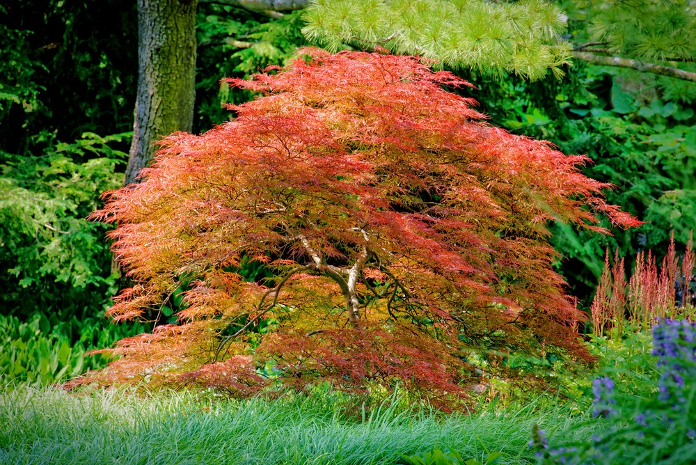 Japanese Maple Photography Art | JP Sullivan Photography, Inc.