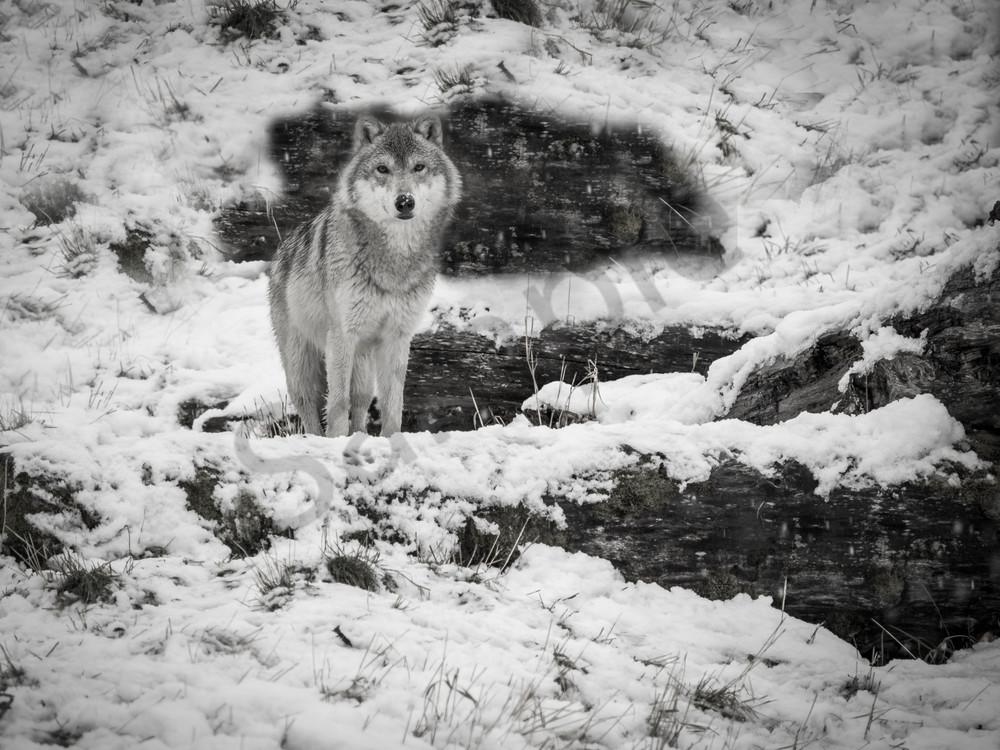 Alaskan wolf in a snow storm- Anchorage Alaska
