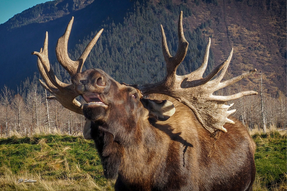 a big bull moose bellows out a warning