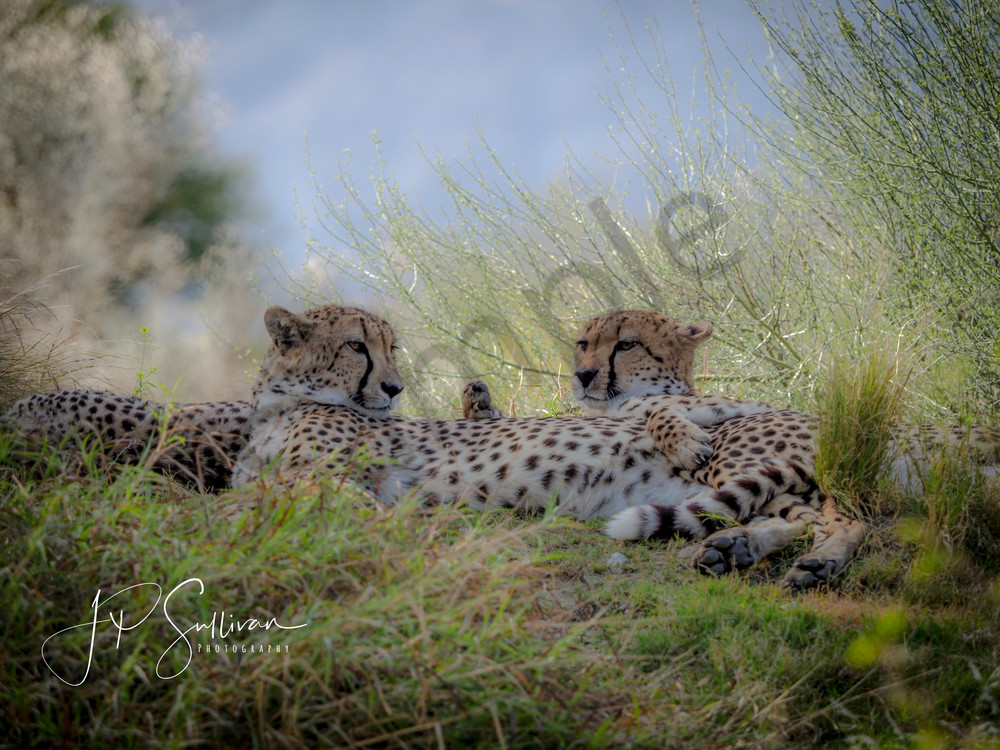 Cheetah Love - the living desert - animals