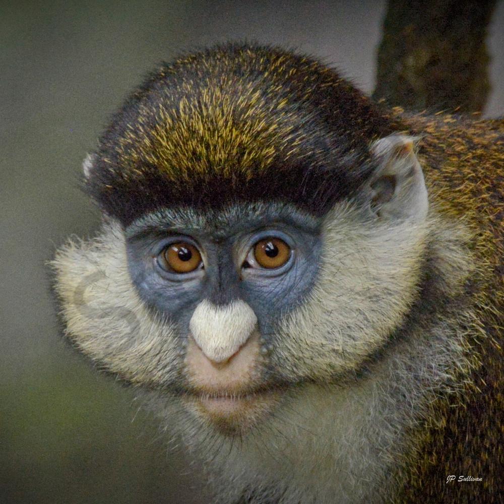 Monkey eyes - monkey - animal - wildlife prints -
