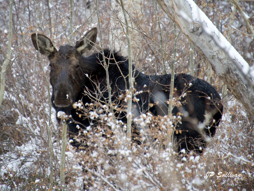 a moose in the Brighton mountains in Utah