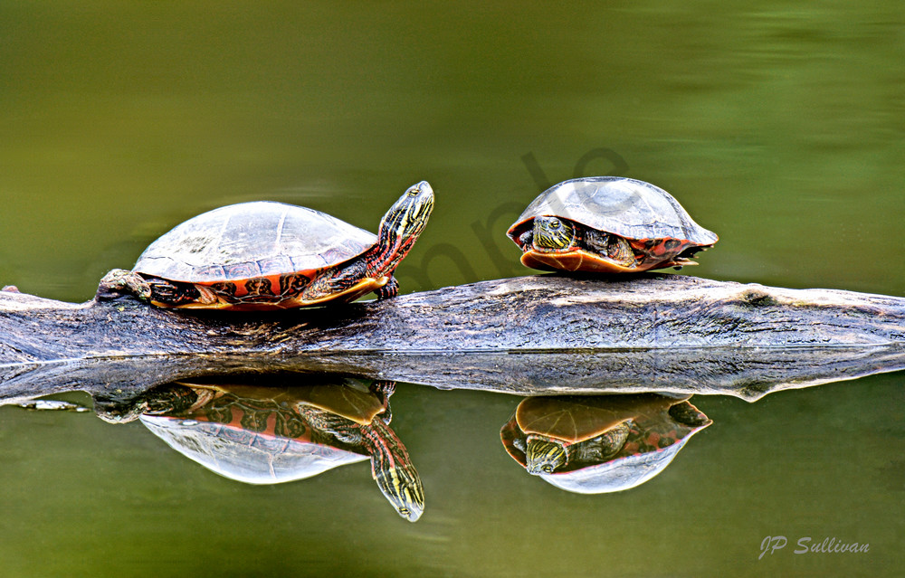 Grumpy old turtles perfect reflection