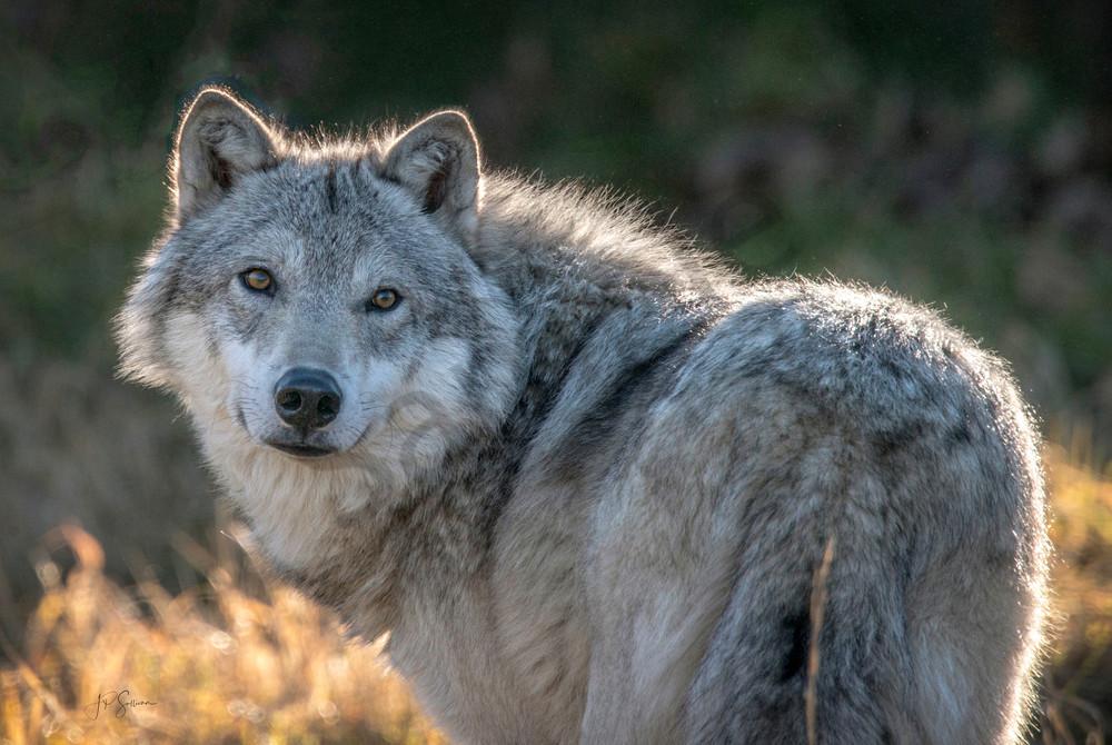 Alaskan Wolf now aware - alaska