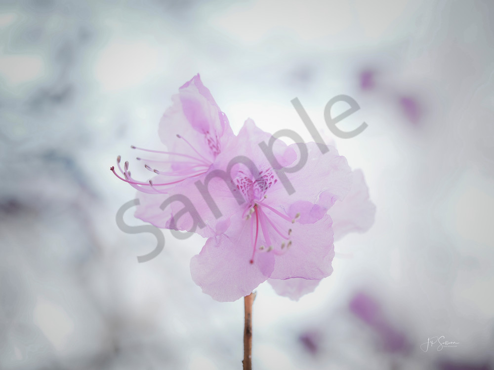 pretty in pink flower art - photography - JP Sullivan