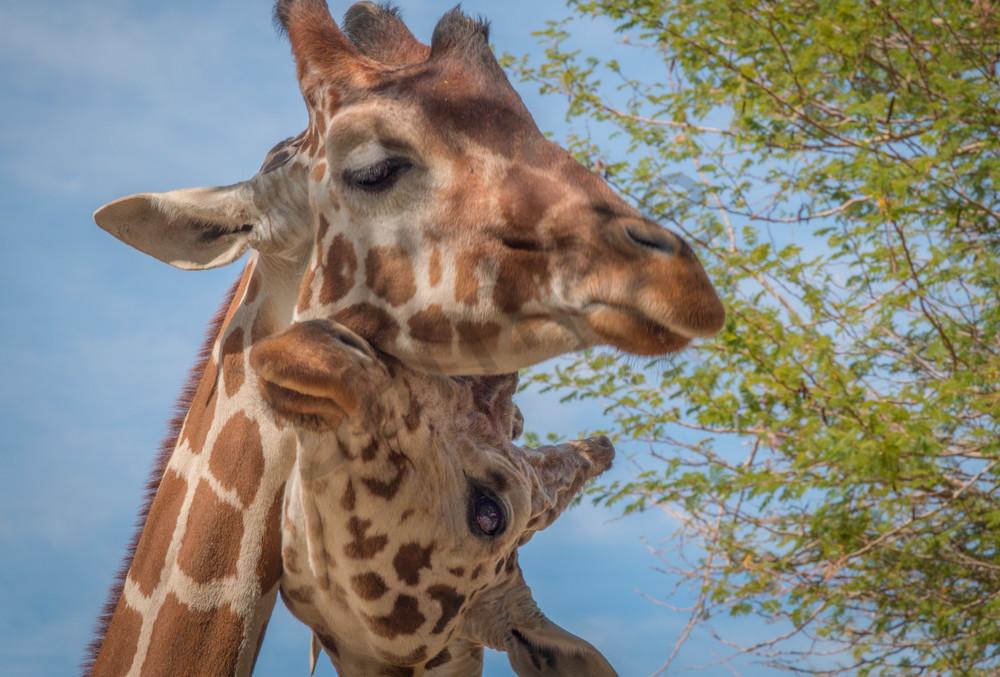 giraffe cuddles - fine art prints - photography by JP Sullivan