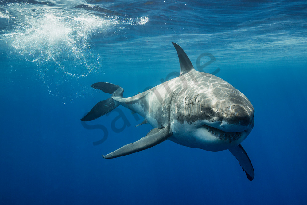 Shark Photography Lucy By Leighton Lum
