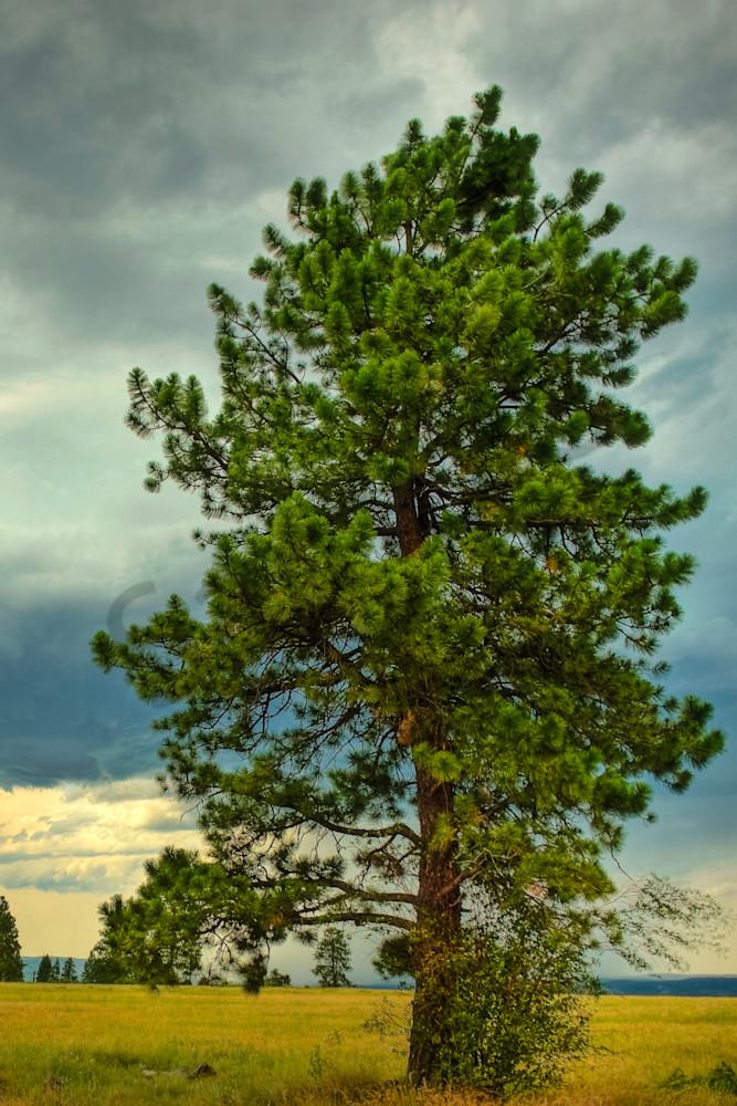 Angry Pine