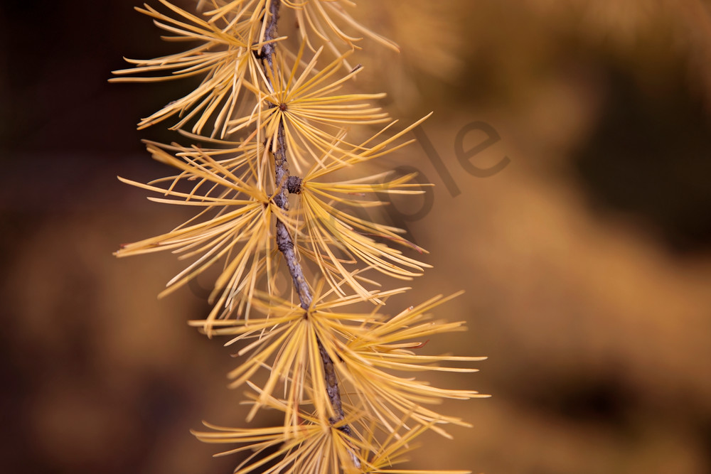 Photograph of tamarack needles turned orange in autumn