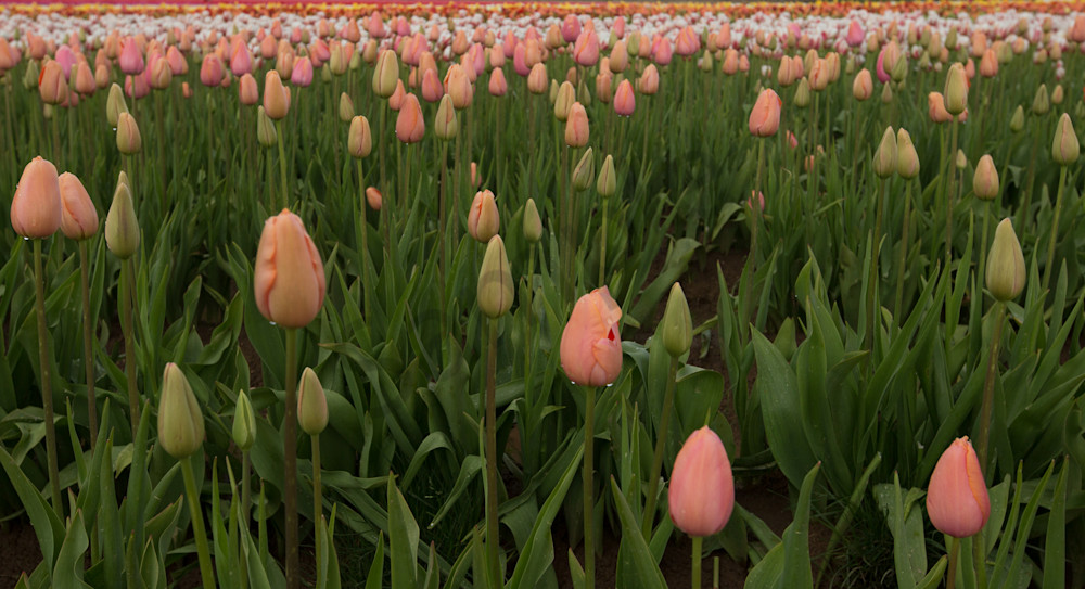 Peach Tulip Field