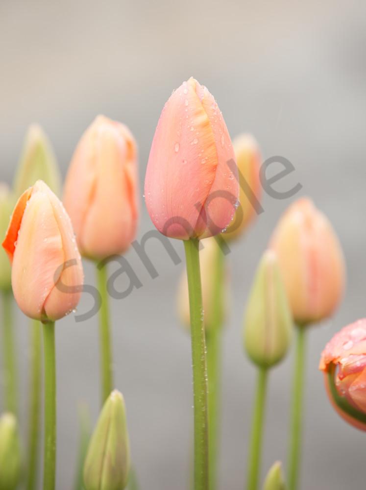 Peach Tulip Buds Photography Art | Barb Gonzalez Photography