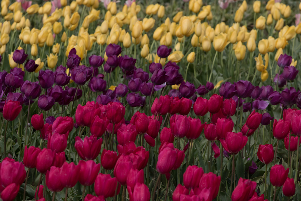 deep colored tulips