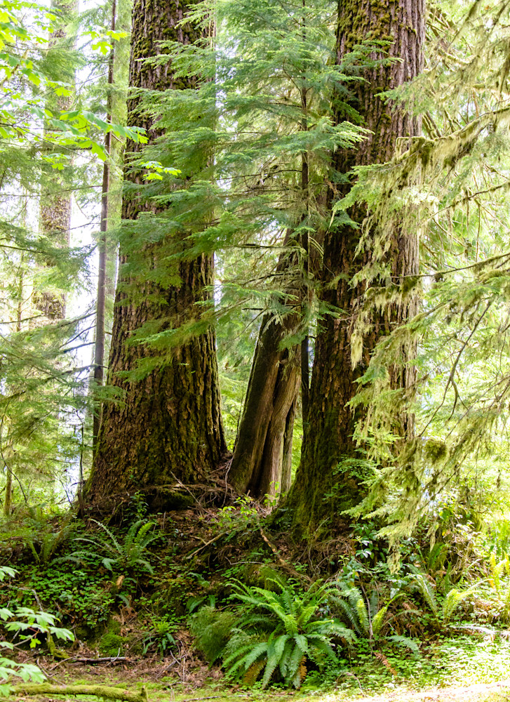 Olympic National Forest   Ferns & Firs Photography Art   Barb Gonzalez Photography
