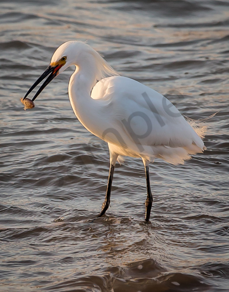 Egret in water at sunset photo