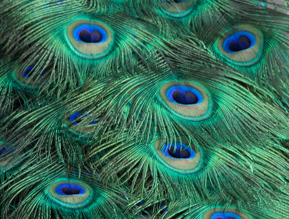 Peacock Feathers Photography Art | Barb Gonzalez Photography