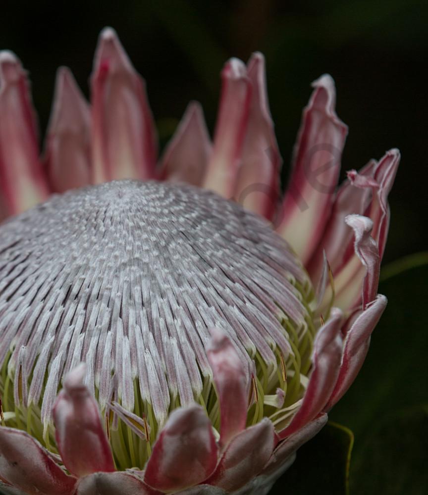 Beautiful closeup flower photo of Protea for sale