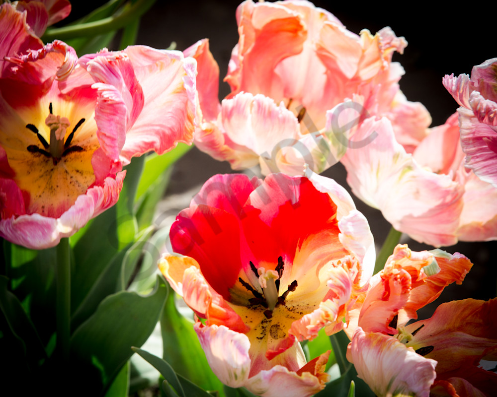 Ruffled Tulips 2 Photography Art | Barb Gonzalez Photography