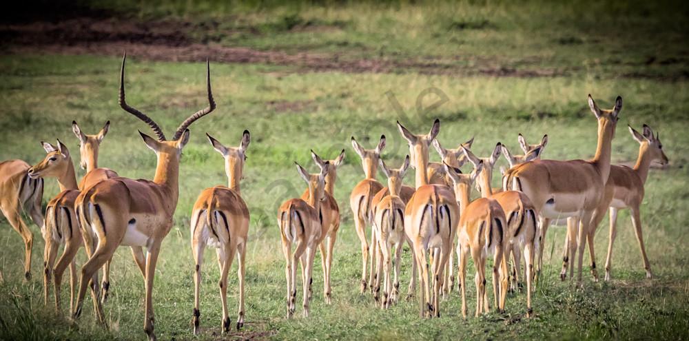 Impalas Photography Art | Barb Gonzalez Photography