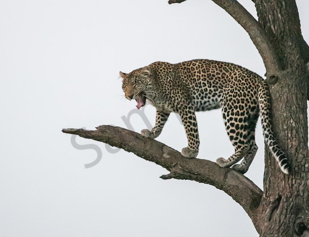 Screaming Leopard Photography Art | Barb Gonzalez Photography