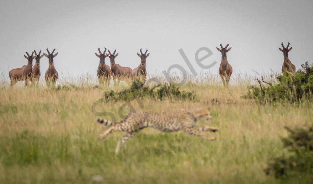 Topi Watching Cheetah Hunt Photography Art | Barb Gonzalez Photography