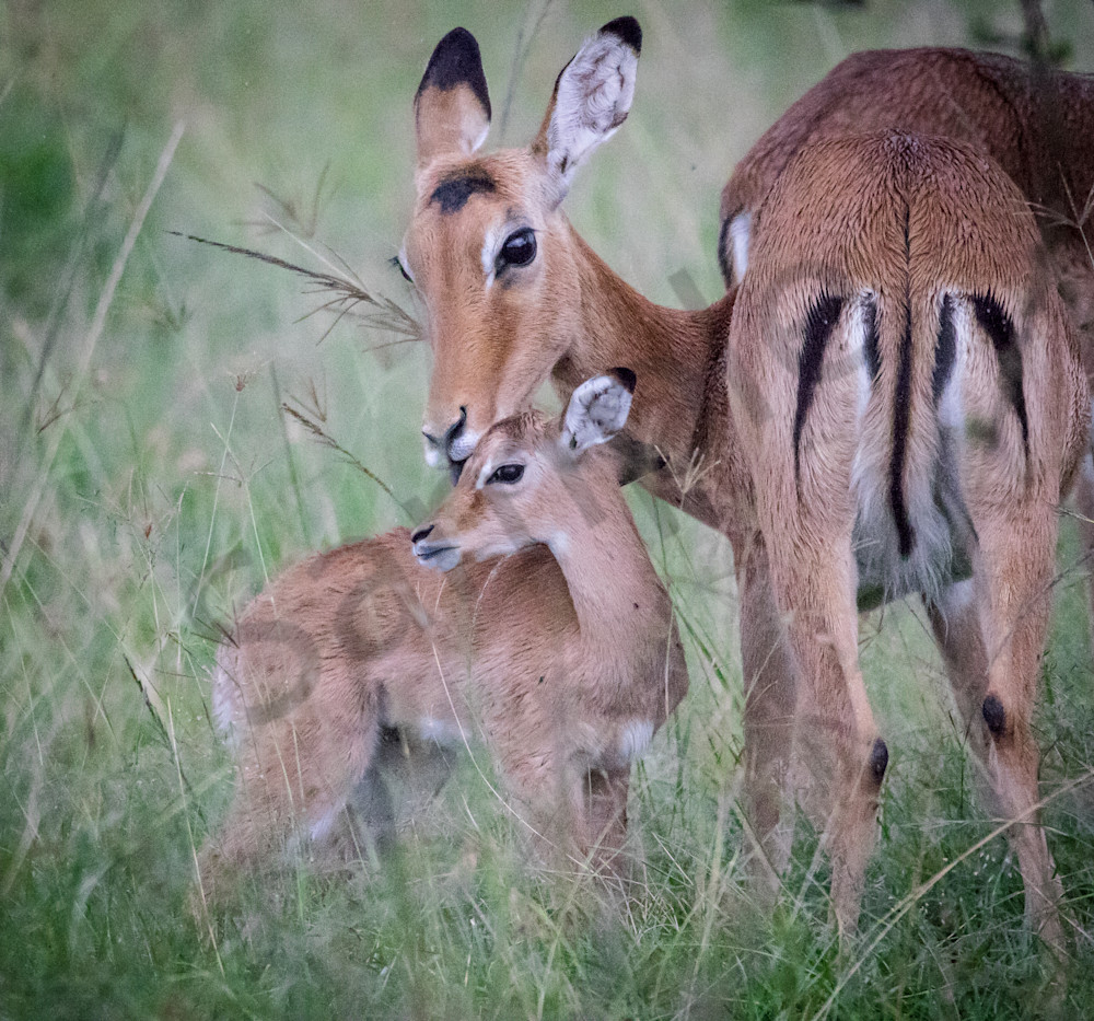 Impala Mother And Baby Photography Art | Barb Gonzalez Photography