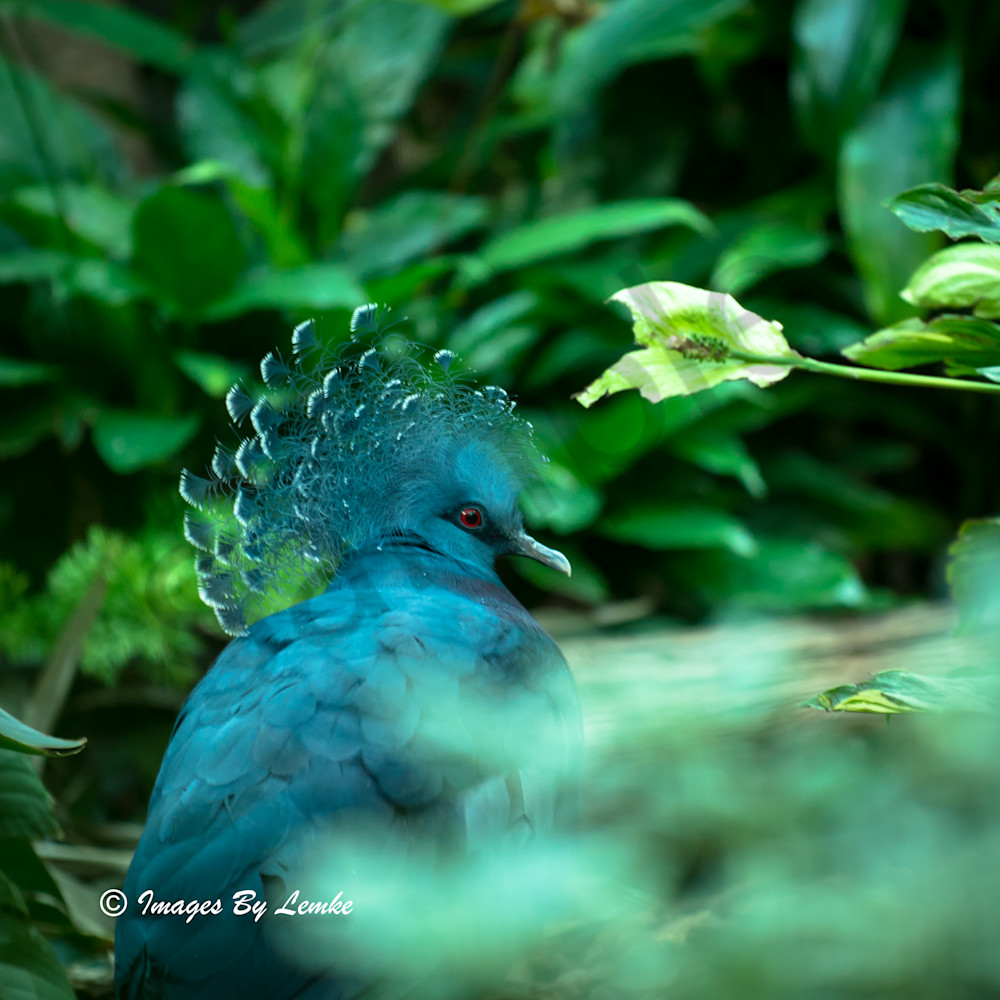 Blue Crown Victoria crowned pigeon