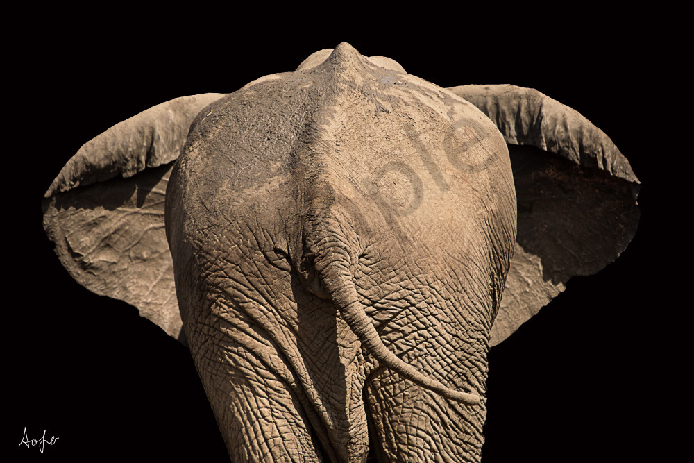 African elephant from behind with black background.