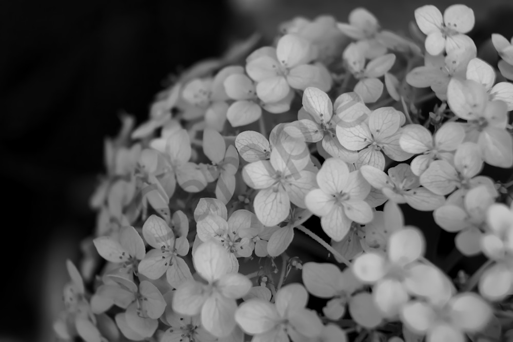 Black & white Hydrangea flower fading to black for sale as fine art by Sage & Balm