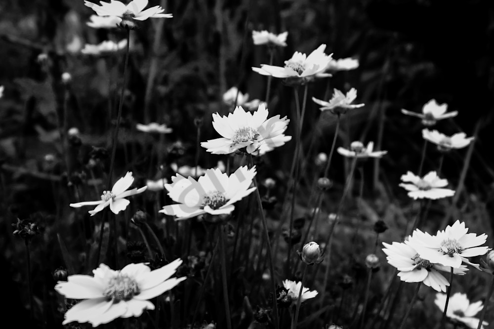 Massed black & white coreposis photograph for sale as fine art by Sage & Balm