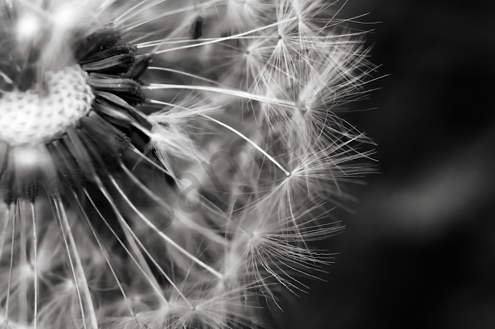Abstract black & white photograph of dandelion fluff for sale as fine art by Sage & Balm