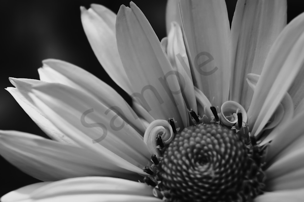 Black & white photograph of a daisy with petals curling for sale as fine art by Sage & Balm