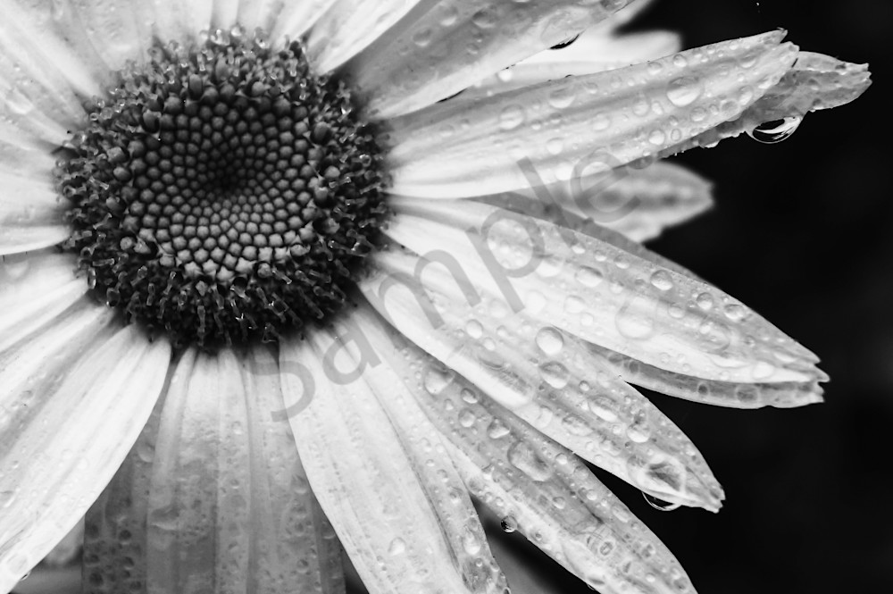 Black & white photograph of a daisy covered in rain drops for sale as fine art by Sage & Balm