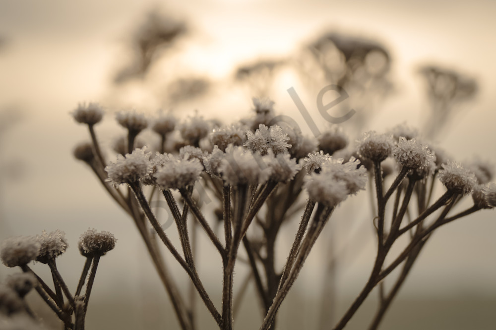 Conceptual & abstract floral macro photograph of frost on yarrow flowers in a winter sunset, for sale as fine art by Sage & Balm